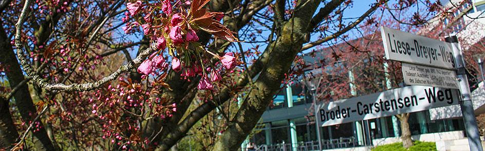 Die Kirschbäume mitten auf dem Campus der Universität blühen jedes Jahr nur für wenige Tage.